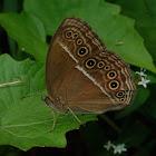 Common Bush Brown
