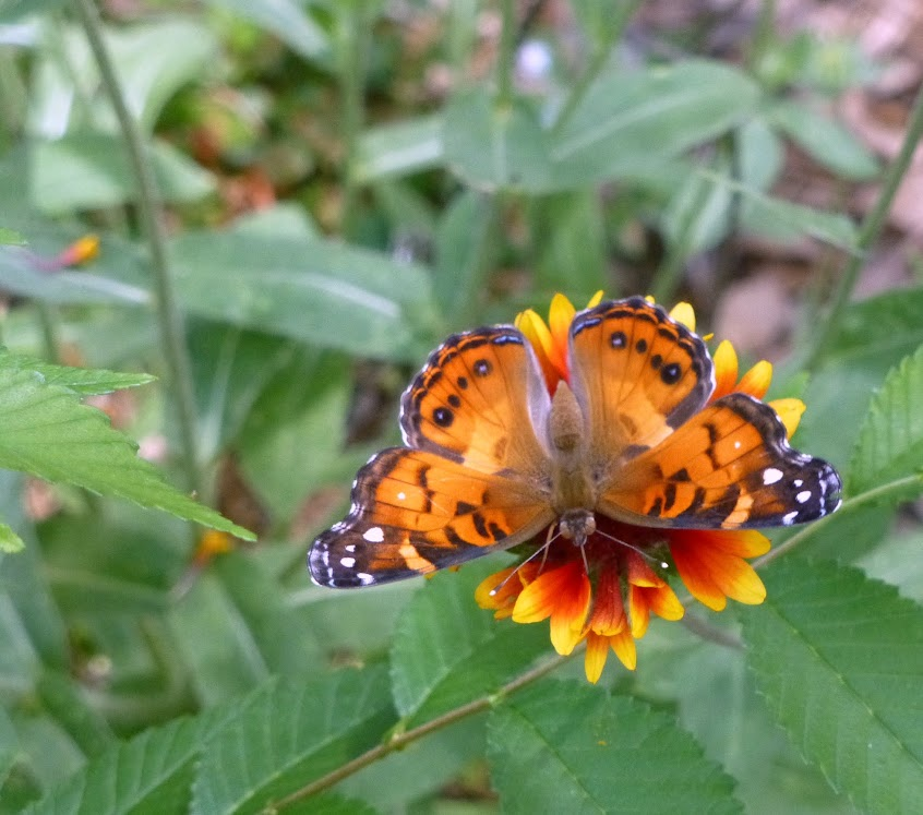 American Lady Butterfly on a flower
