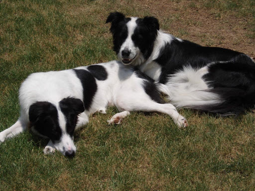 Border Collie Wallpapers FREE