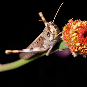 Grasshopper by Susi Youngs - Animals Insects & Spiders ( bug, insect, grasshopper )