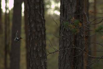 Photo: Three-toed woodpecker