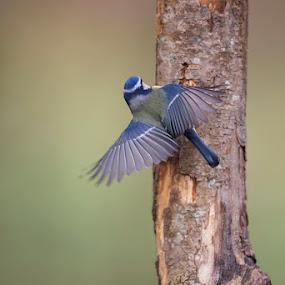 Climbing by Denis Keith - Animals Birds ( bird, wild, wildlife, wings spread, forest, tit, blue tit,  )