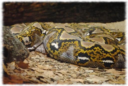 Anaconda Snakes Wallpaper Pics