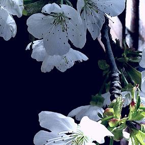 Flowers  of cherry tree by Nat Bolfan-Stosic - Flowers Flower Gardens ( spring, cherry, flowers, white, tree )