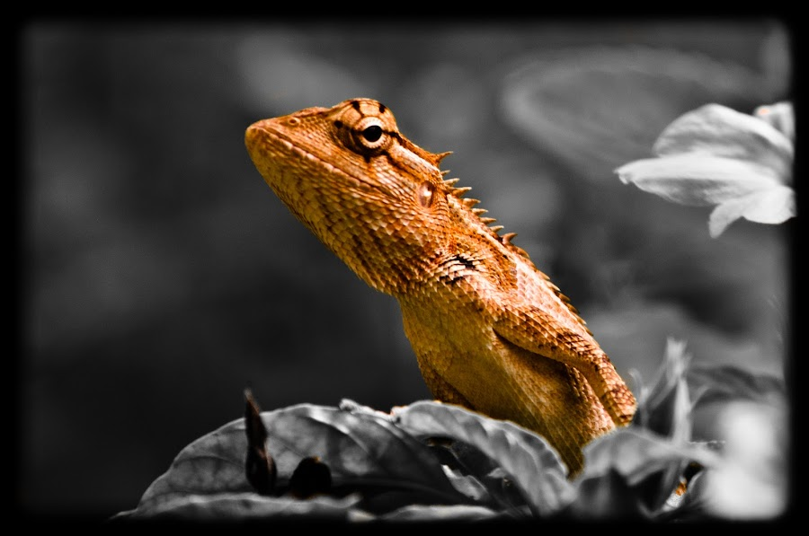 by குறை ஒன்றும் இல்லை - Animals Reptiles ( mm, selective, color, 200, 55, nikkor, d5000, coloring, vr )