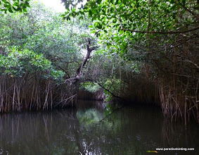 Photo: Mangrove forest, La Tovara
