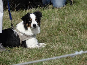 Photo: Galu Border Collie