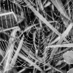 Dew on a Spiderweb by Lauren DeJarnatt Yoder - Nature Up Close Webs ( b&w, spiderweb, dew,  )