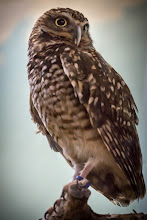 Photo: Eye of the Tiger -- Er, Spotted Owl  #wildlifephotography  #naturephotographyday