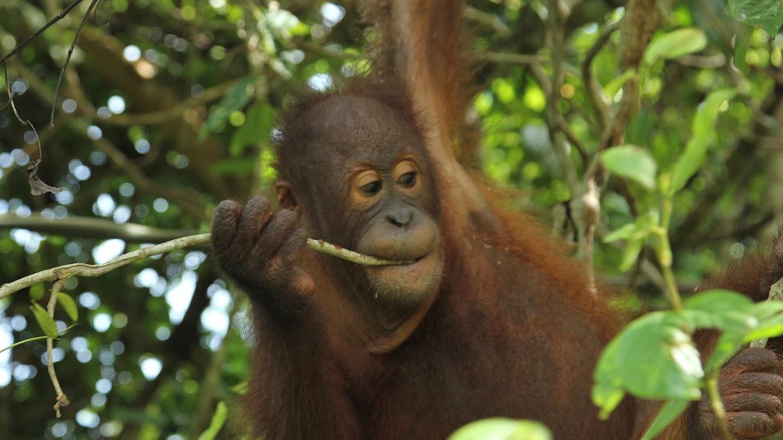 Watch Meet the Orangutans live