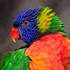 Lorikeet Portrait by Pete Bobb - Animals Birds ( bird, rainbow lorikeet, zoo, colorful, denver, wildlife, lorikeet,  )