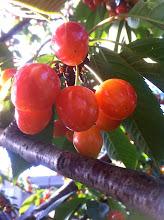 Photo: The cherries of Stratford
