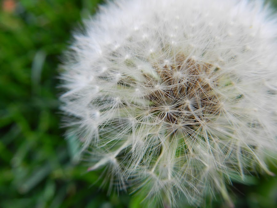 by Nicholas Cole - Nature Up Close Other plants ( up close, grass, montana, outdoor, dandy lion )