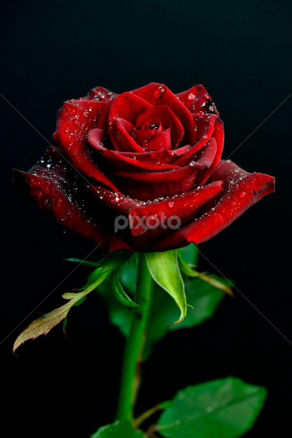 A beautiful Red Rose by Elly Tjiasmanto - Nature Up Close Flowers - 2011-2013 ( rose, love color, red, nature, flower, , love, postcard, valentine's day )