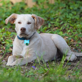 Sadie by Jack Nevitt - Animals - Dogs Portraits ( tan, ears, collar, laying, yellow, looking, lab, dog, perked )