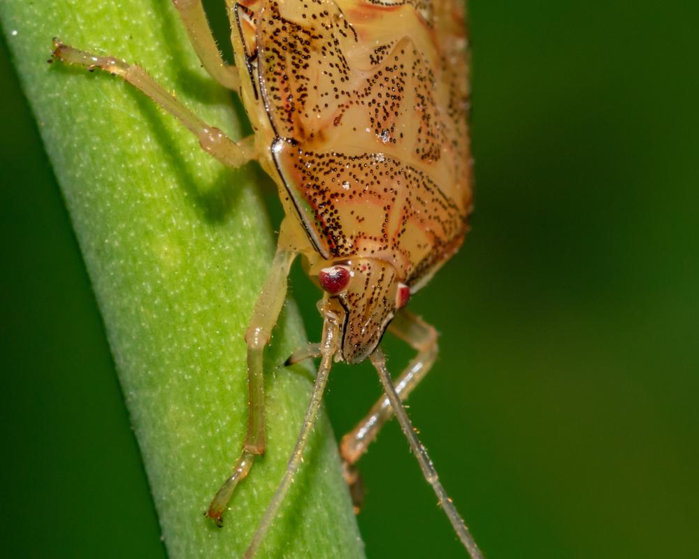 Percevejos se aproveitam de clima seco para se alimentar das plantações de soja. (Fonte: Shutterstock)
