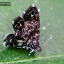 Almost like: Peacock Brenthia moth