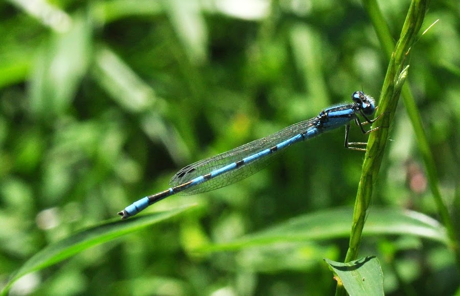 Blue Damsel by John Andrews - Nature Up Close Leaves & Grasses