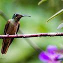 Fawn breasted Brilliant Hummingbird