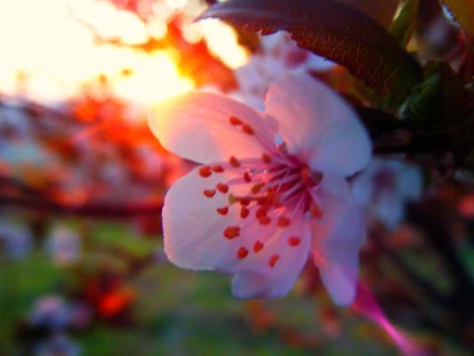 Fiore dell' Alba di Valda