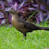Zanate (Great-tailed grackle)