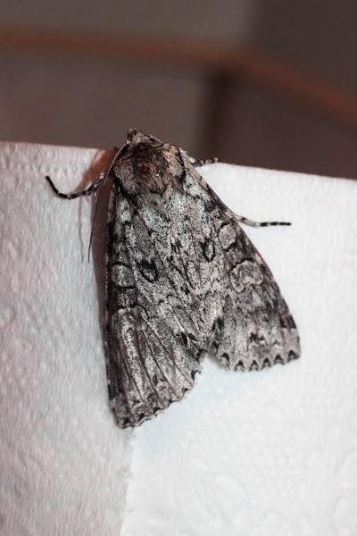 Photo: Polia nimbosa (Stormy Arches moth)