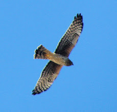 Photo: Northern harrier, immature San Diego River at Mission Bay
