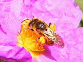 """Photo: """"Handitie scabiosae"""" butine sur un ciste cotonneux, les corbeilles à pollen bien remplies !"""