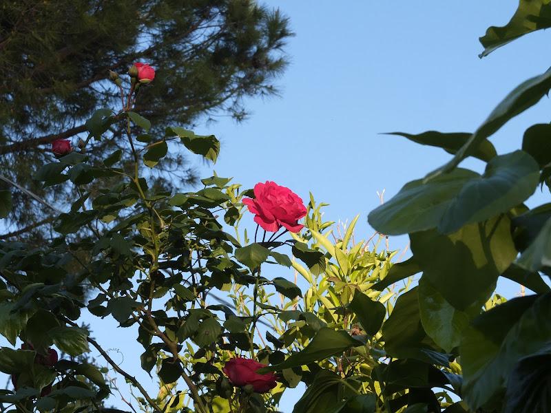 una rosa al sole di michele_delmonte