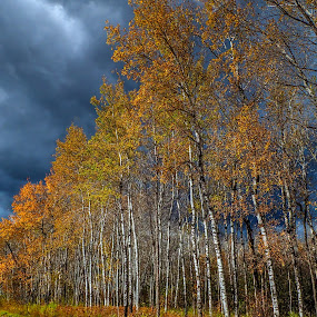 Gold leaves against menacing clouds by Marilyn Magnuson - Landscapes Forests ( fall long forest road, fall forest, fall, gold leaves dark clouds, dark clouds, gold leaves )
