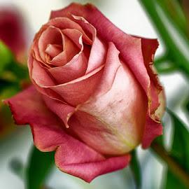 Pink by Radu Eftimie - Flowers Single Flower ( pink, rose )