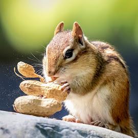 Chipmunk with peanuts by Debbie Quick - Animals Other Mammals ( debbie quick, nature, adirondacks, new york, outdoors, mammal, ticonderoga, chipmunk, rodent, animal, debs creative image, peanut, wild, wildlife )