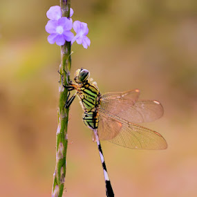 Dragon Fly  by Asep Bowie - Animals Insects & Spiders