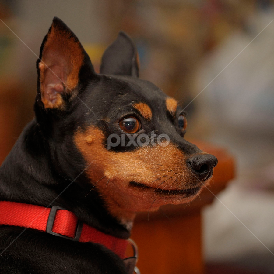 Our Loki by Nolan Burnette - Animals - Dogs Portraits ( animals, alert, pets, portraits, dog, house dog, small, nose, pencher, #GARYFONGPETS, #SHOWUSYOURPETS )