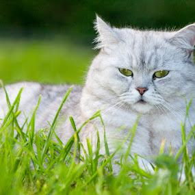 Relax by Anita  Christine - Animals - Cats Portraits ( cat, nature, grass, green, white, grey, animal,  )