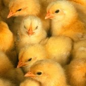 Cute Baby Chicks Wallpapers