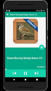 Burung Gereja Ngekek Gacor - náhled