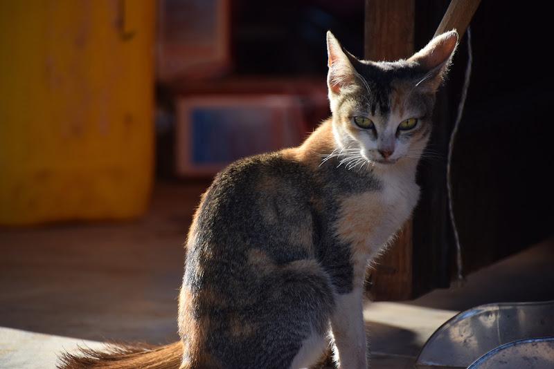 Gatto birmano di stelli