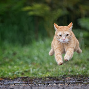 Flying Bernie by Anne Young - Animals - Cats Playing (  )