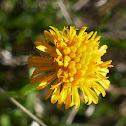 Yellow Burr-daisy