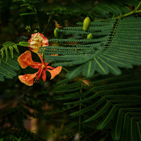 flag of bangladesh..... by Ashif Hasan - Nature Up Close Leaves & Grasses ( ashif_hasan, red, color, green, dark, leaves, lal_sobuj, flower )
