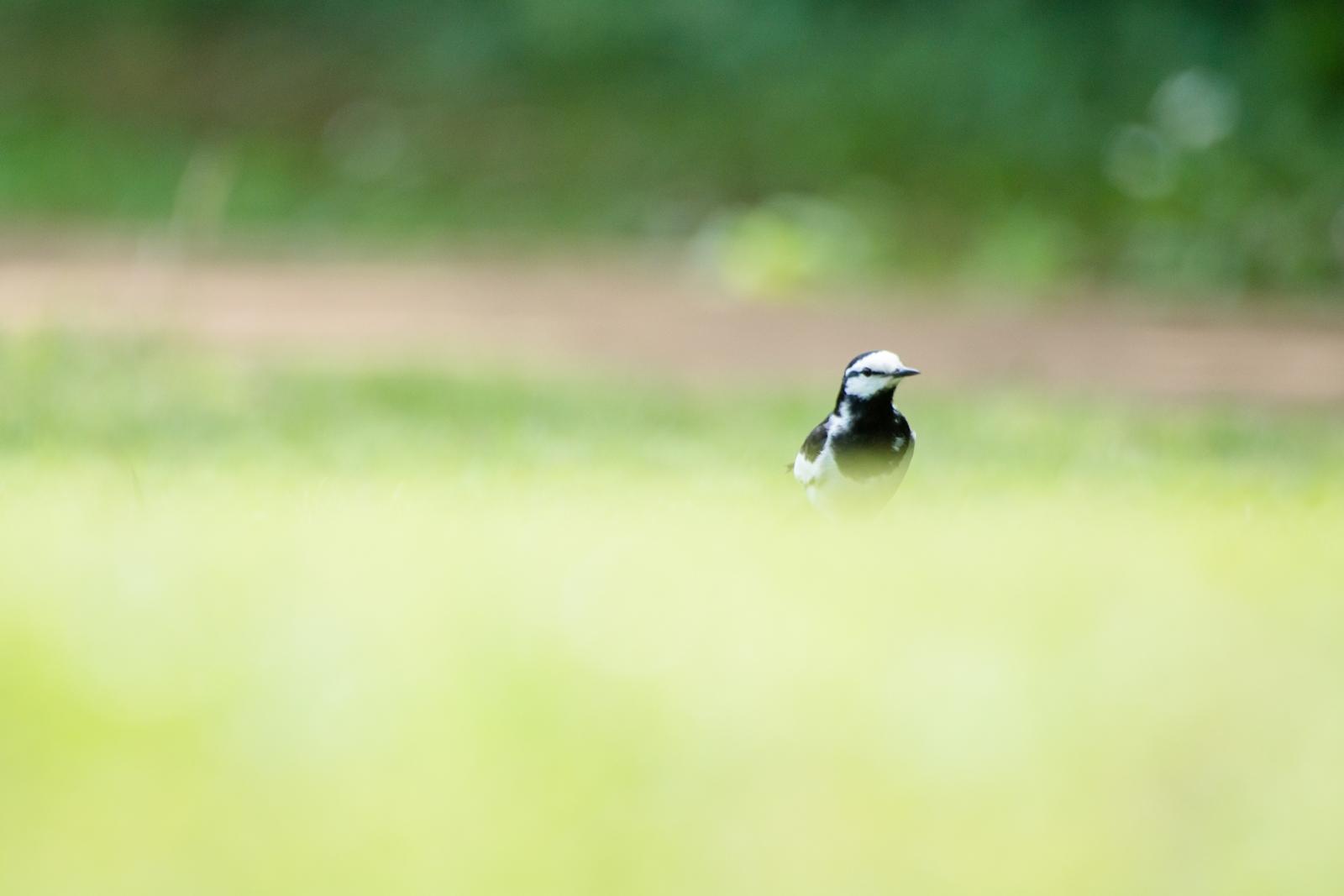 Photo: 原っぱ散策 Open field walk.  静かな原っぱ 陽射しが降りそそぎ 淡く輝く のんびりのびのび 楽しい時間  White Wagtail. (ハクセキレイ)  #birdphotography #birds  #cooljapan #kawaii  #nikon #sigma   Nikon D7200 SIGMA APO 50-500mm F5-6.3 DG OS HSM  ・小鳥の詩朗読 /poetry reading https://youtu.be/7ffco_Fjy6k?list=PL2YtHGm0-R3qVsaqvQe9OYdJFCkI98wzF