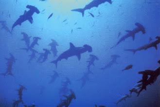 Photo: #023-Les Requins marteaux de Shaab Rumi