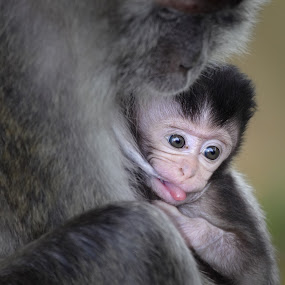 Monkey Love by Annemarie Rulos  - Animals Other Mammals ( macaque, makaak, primate, monkey )