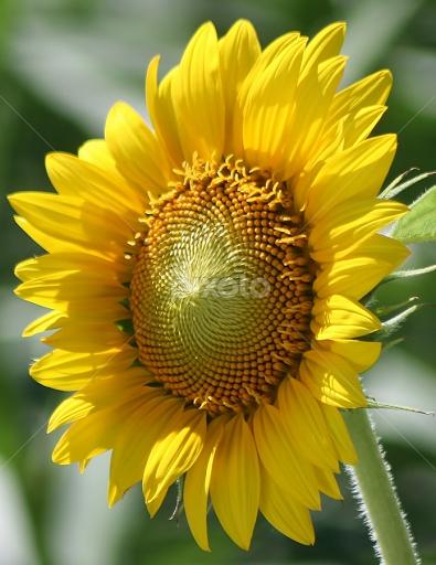 Good Morning Sun By Giovanna Pagliai Flowers Single Flower Petals