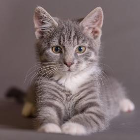 Biko 1 by Anita Meis - Animals - Cats Kittens ( studio, kitten, tom, biko, cat, tabby, boy, flash )