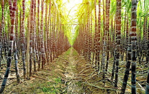 a08032d32591a Brazil and Australia to fight any Indian sugar export subsidy