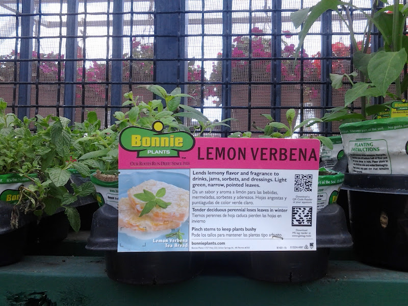 Photo: I had to grab a Lemon Verbena plant. They're hard to find around here so when you see a uncommon herb plant you've got to grab it.