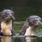 Two River Otters-2photoshopcloneresize1700.jpg