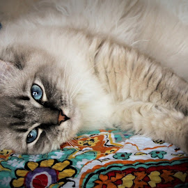 Baby Blues by Lena Arkell - Animals - Cats Portraits ( beautiful, pretty, ragdoll, blue, cat, blue eyes,  )